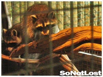 raccoons at KL Tower Animal Zone